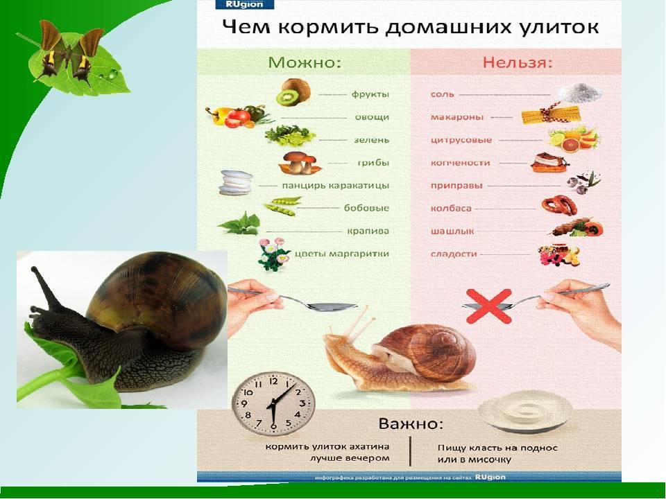 Чем кормить улиток ахатин – правильный рацион, рекомендации