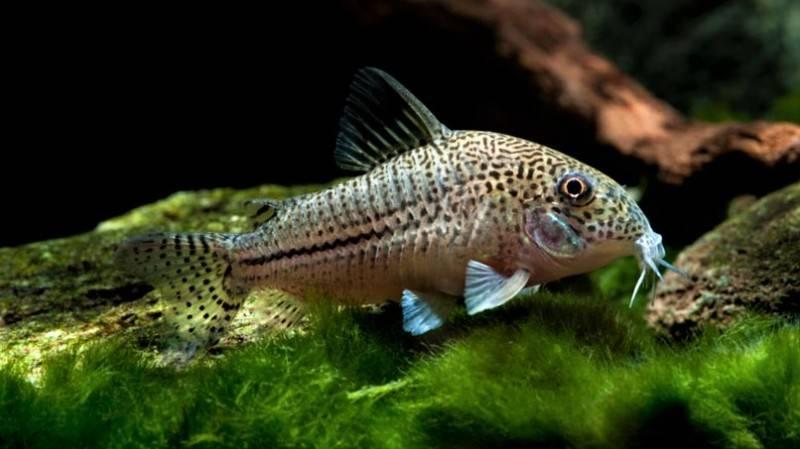 Сом синодонтис (перевертыш): совместимость с другими аквариумными рыбками, содержание, виды, размножение, фото