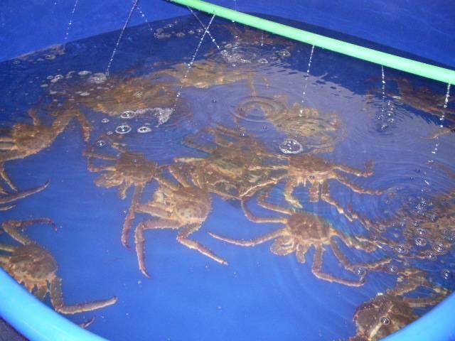 Красный мангровый краб:описание,содержание,разведение,фото