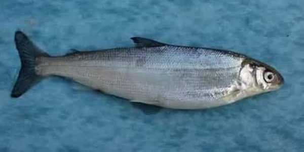 Ряпушка сибирская | фото, виды рыб, ареал обитания, образ жизни и способ ловли