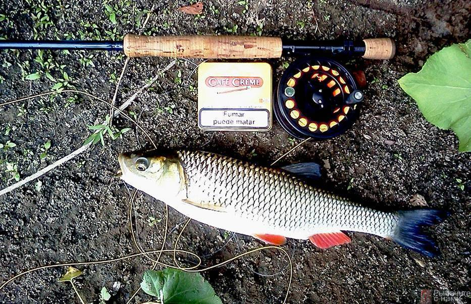 Голавль: описание, образ жизни рыбы, места обитания (речной, озерный)