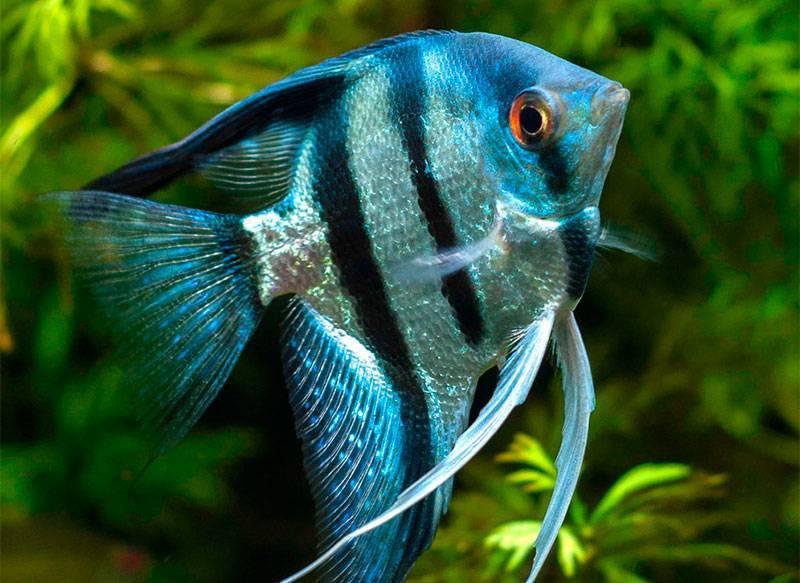 Манка у рыб: симптомы, причины появления и лечение болезни аквариумных рыбок