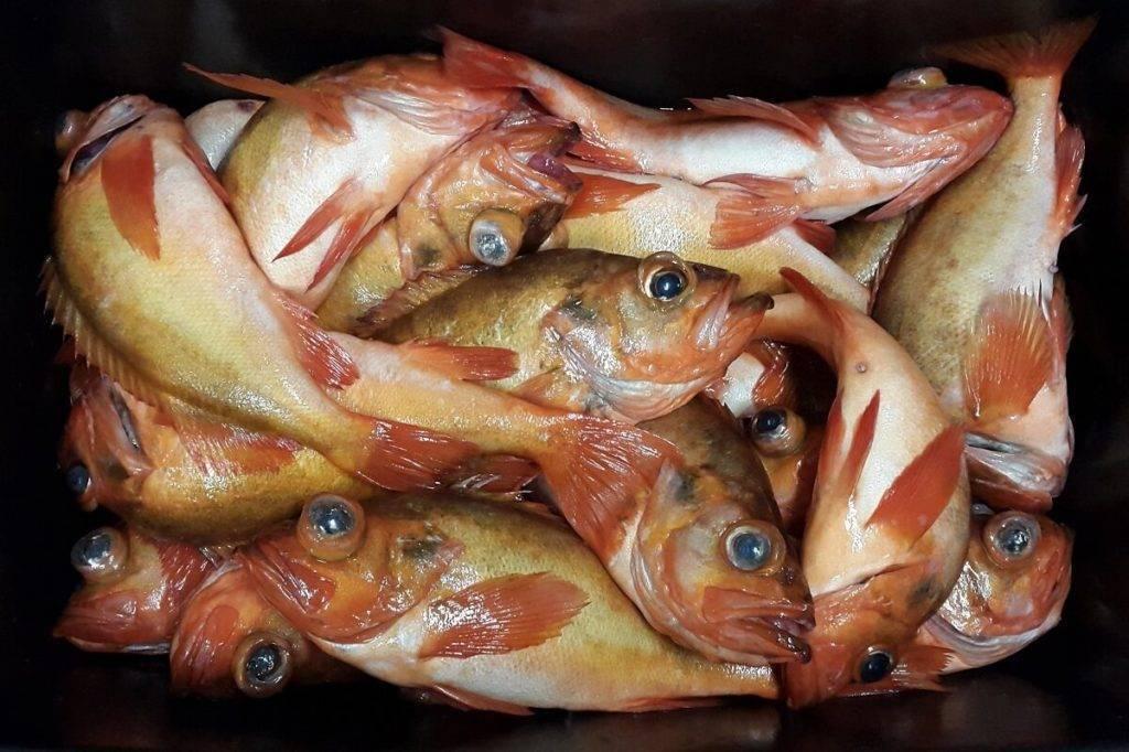 Морской окунь: польза и вред   польза и вред