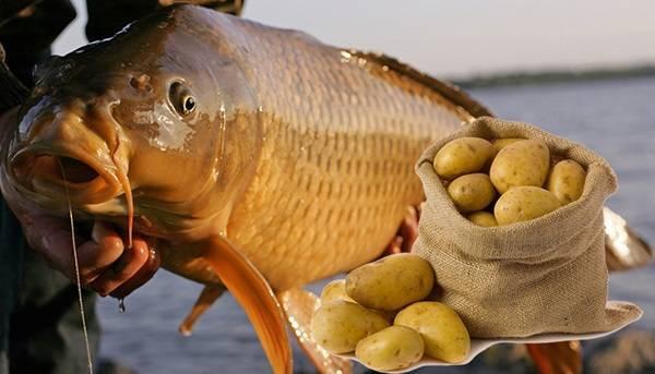 Картошка для карпа - на рыбалке!