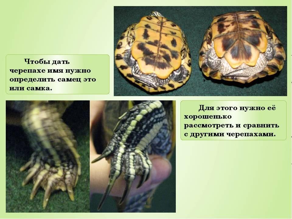Простые способы определить пол красноухой черепахи