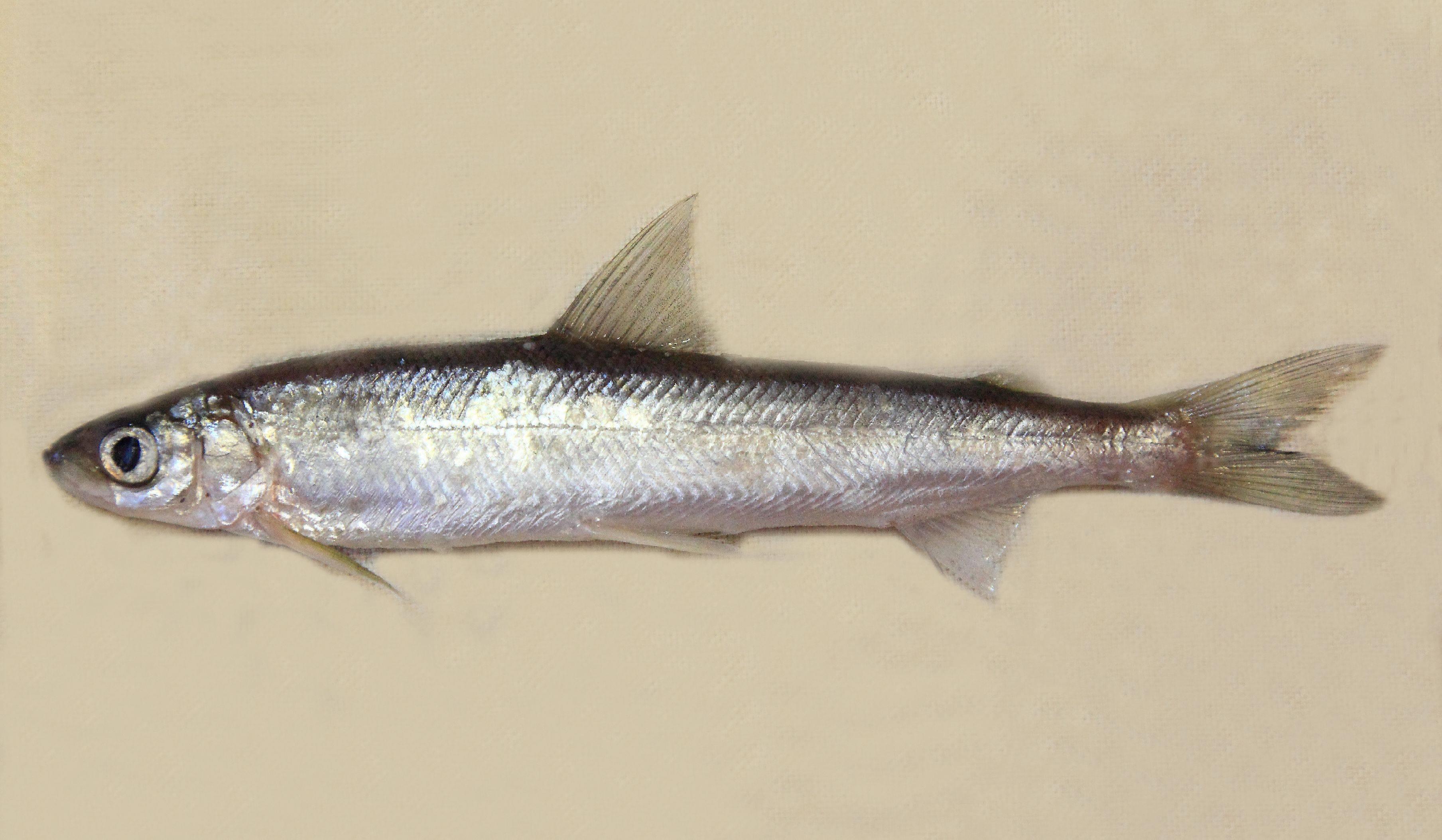 Рыба ряпушка: беломорская, сибирская и другие подвиды