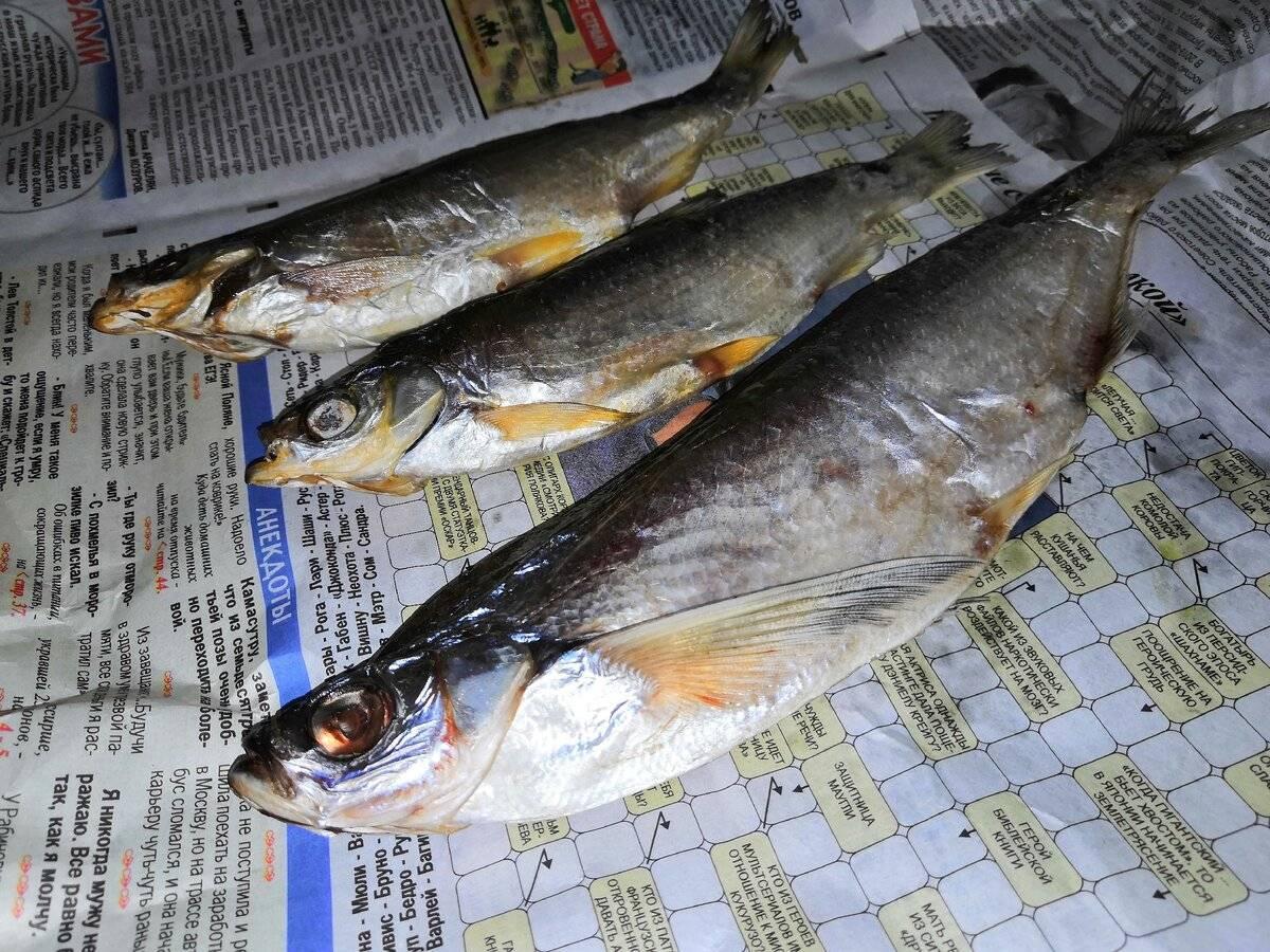 Шамайка — «царская рыба» южных морей