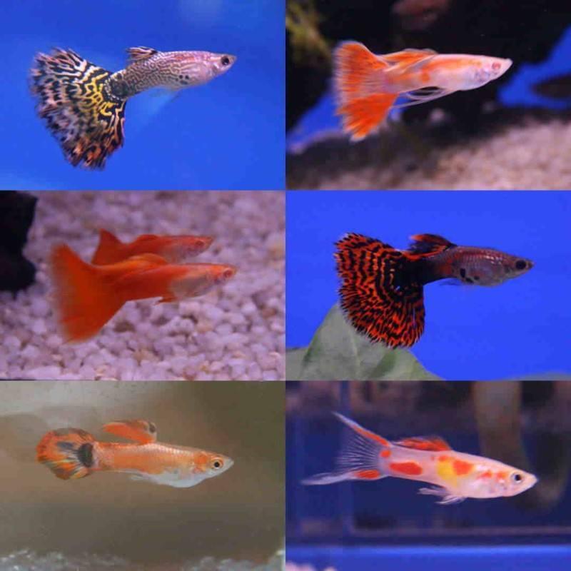 Гуппи - фото, содержание и уход, размножение в аквариуме