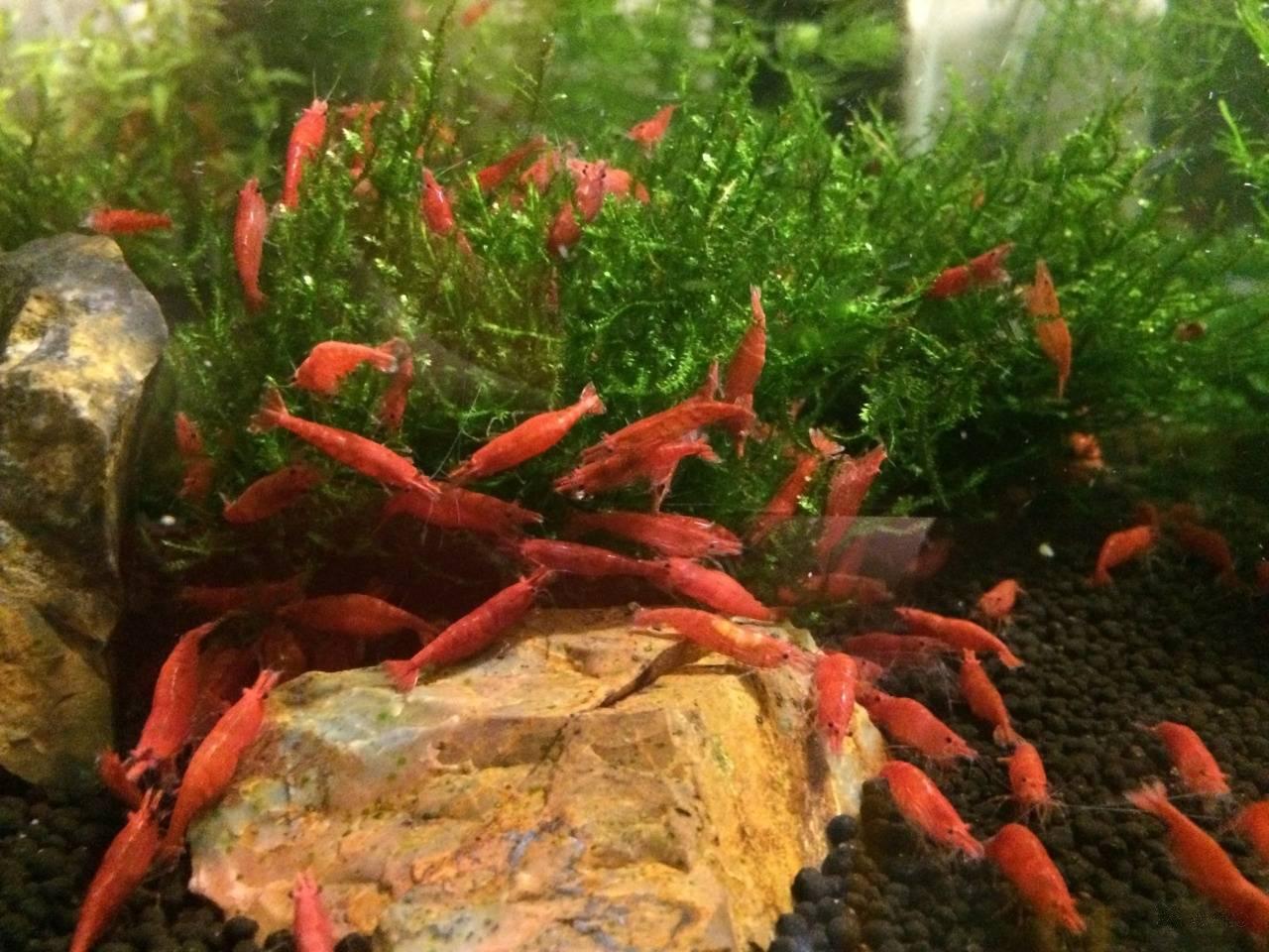 Креветки в аквариуме с рыбками - как устроить мирное сожительство
