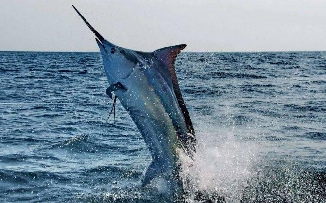 Хищная рыба марлин: особенности вида, распространение, рецепты рыбных блюд   berlogakarelia.ru