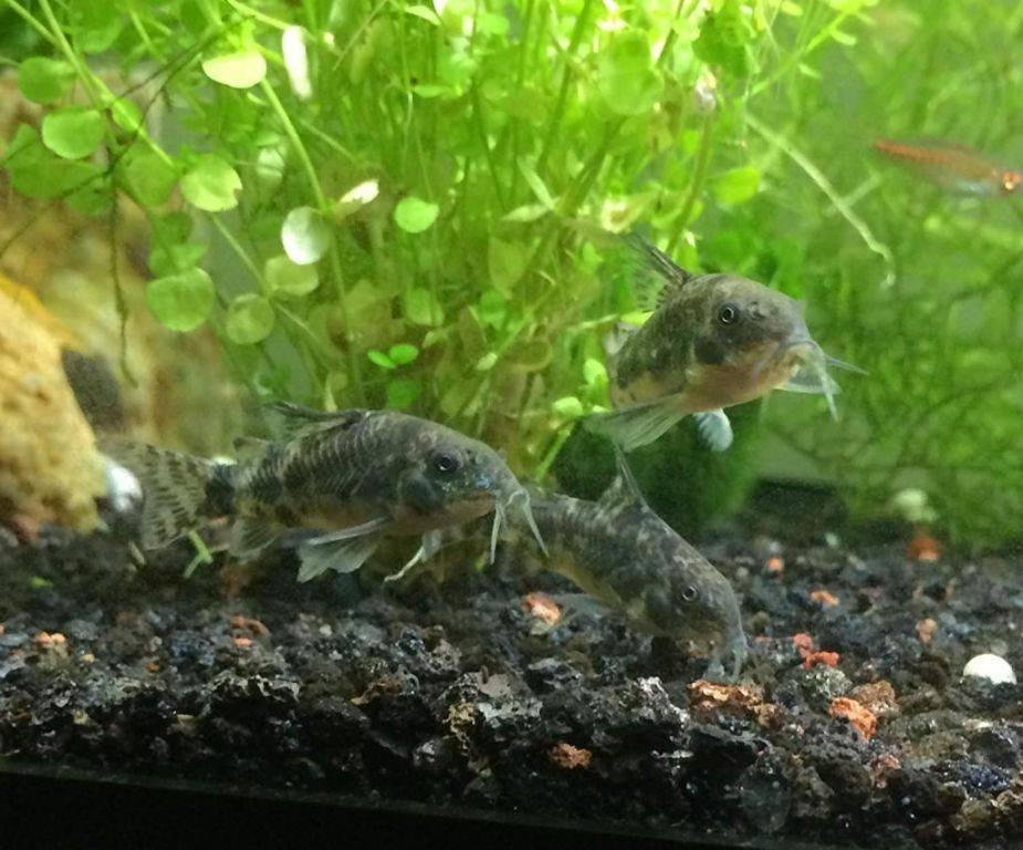 Аквариумные сомики. виды аквариумных сомиков: описание и фото