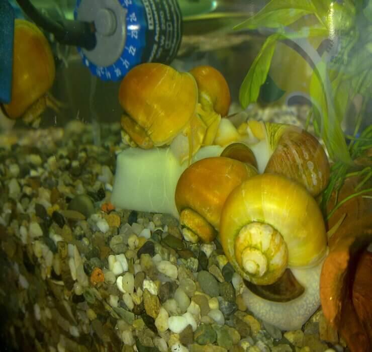 Спикси - аквариумные эльфы!