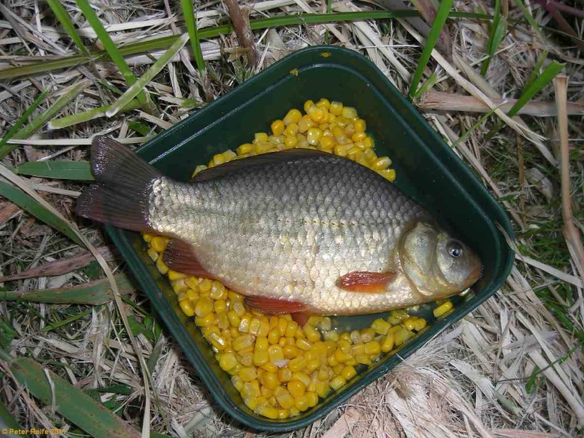 Ловля карпа в сентябре в пруду: снасти, наживка и прикормка