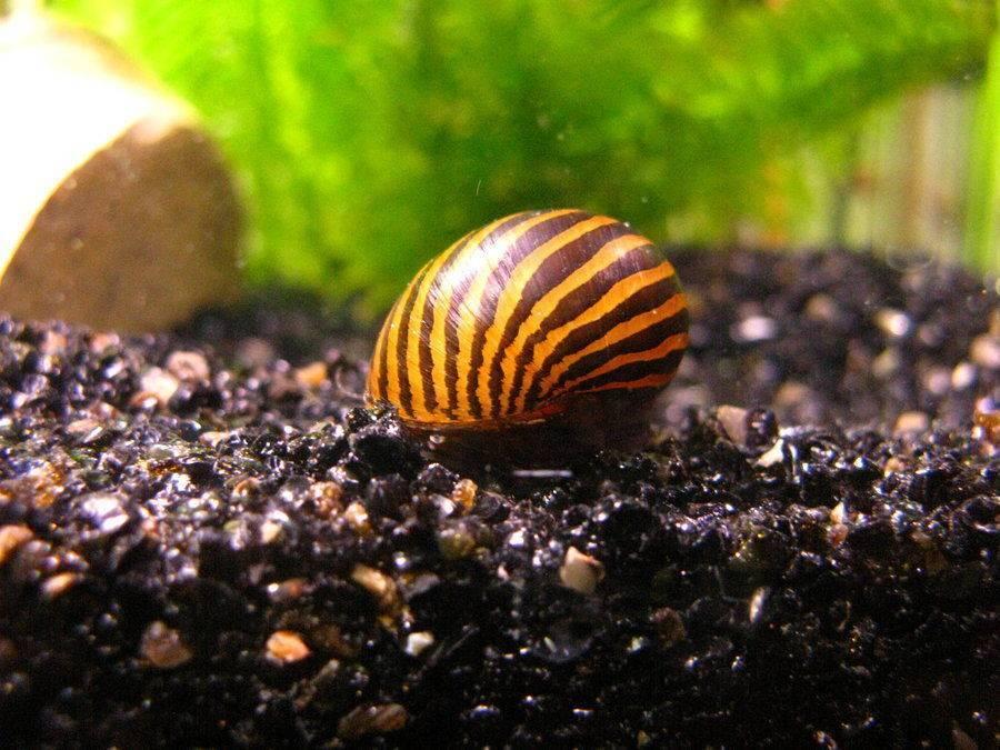 Улитки в аквариуме: польза и вред, описание видов
