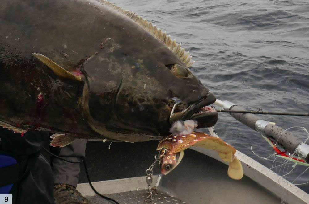 Рыба палтус: фото и описание, особенности ловли, места обитания