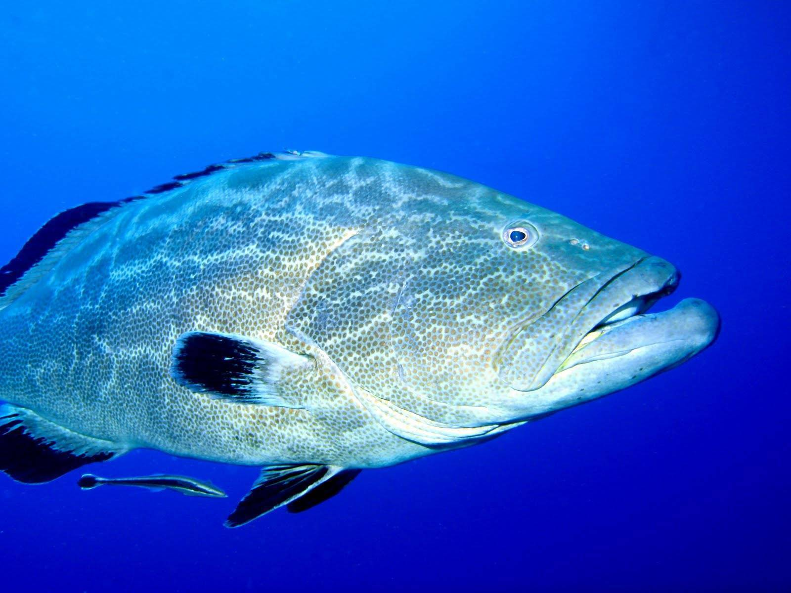 Жерех: описание и особенности рыбы. как ловить и можно ли вырастить?