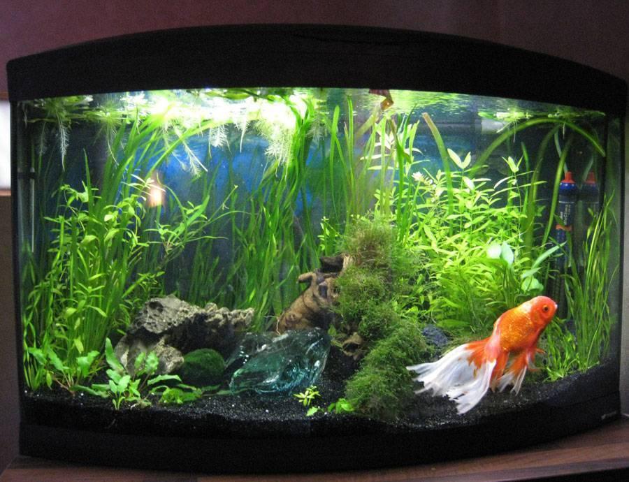 Как ухаживать за золотыми рыбками в аквариуме