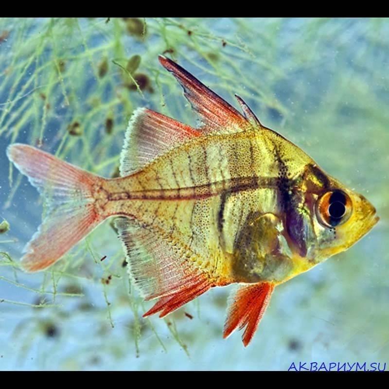 Прозрачная рыба: описание и обитание, содержание и совместимость, кормление и размножение аквариумной рыбки в домашних условиях