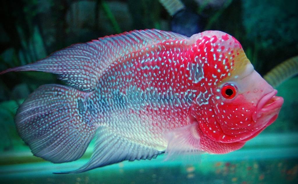 Цихлида фловер хорн (flower horn): описание и особенности аквариумной рыбки, требования к содержанию