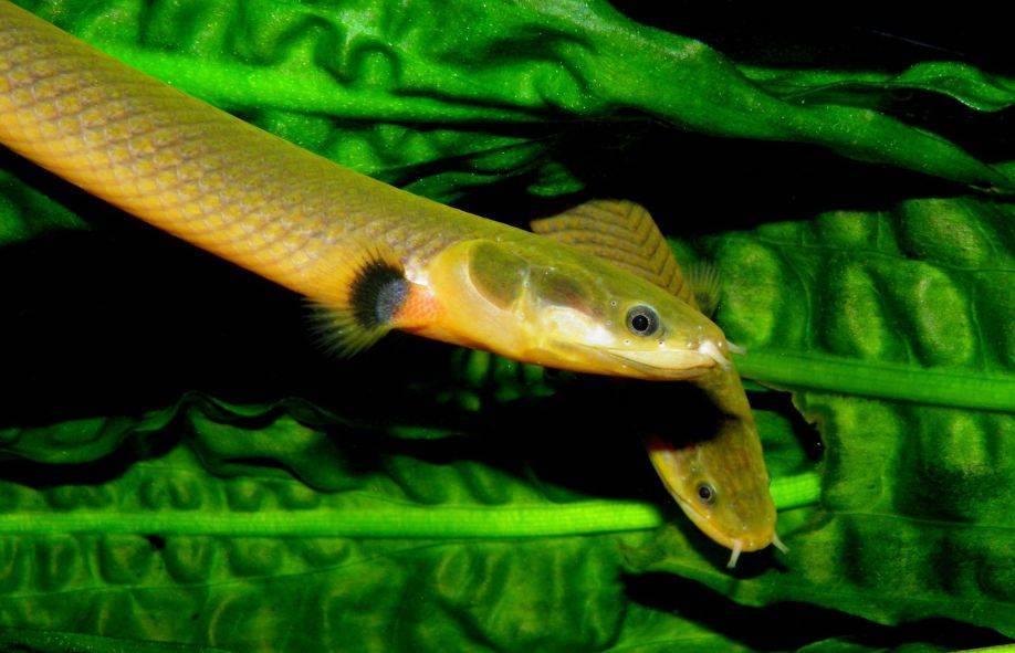 Каламоихт калабарский или рыба – змея: содержание, совместимость, фото, видео