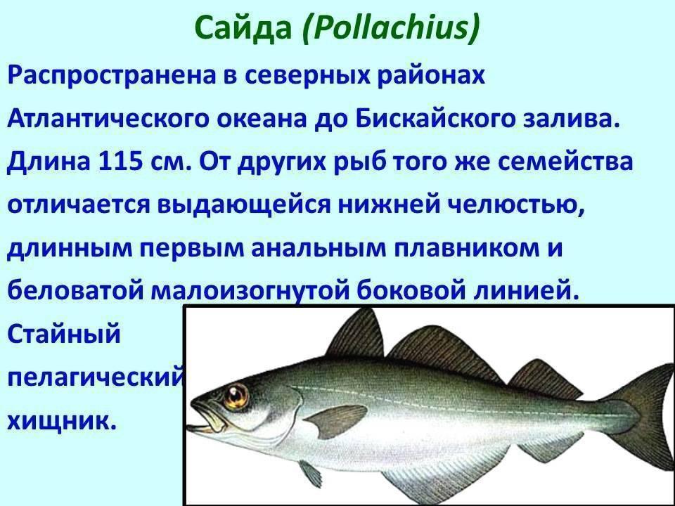 Семейство осетровых рыб с описанием и фото