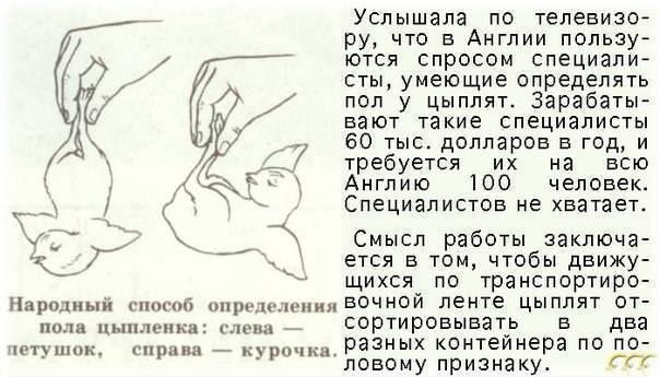 Супер ник порода кур – описание и фото кросса