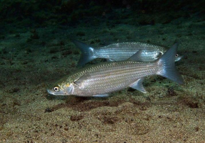 Кефаль черноморская: виды, фото, на что ловить