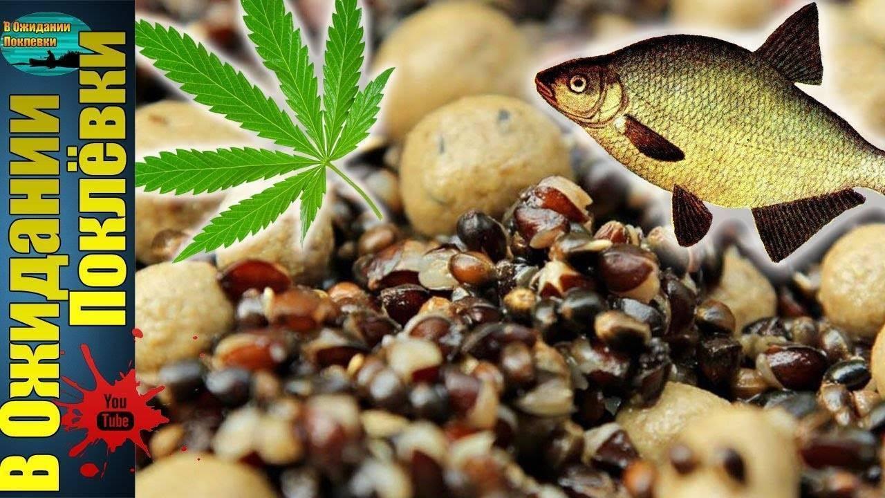 Семена конопли: отличная прикормка и наживка   рыбалка, карп, карась, сом, жерех, плотва, щука, голавль и налим