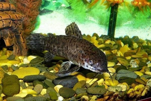 Сом таракатум: всё о содержании миролюбивой рыбки