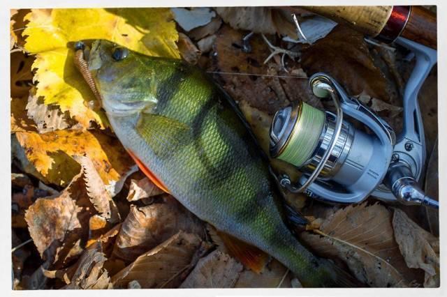 Ловля окуня на отводной поводок: монтаж оснастки, проводки и ловля весной, летом, осенью, видео как сделать отводной для окуня