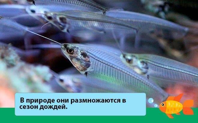 Сом анциструс — санитар аквариума.