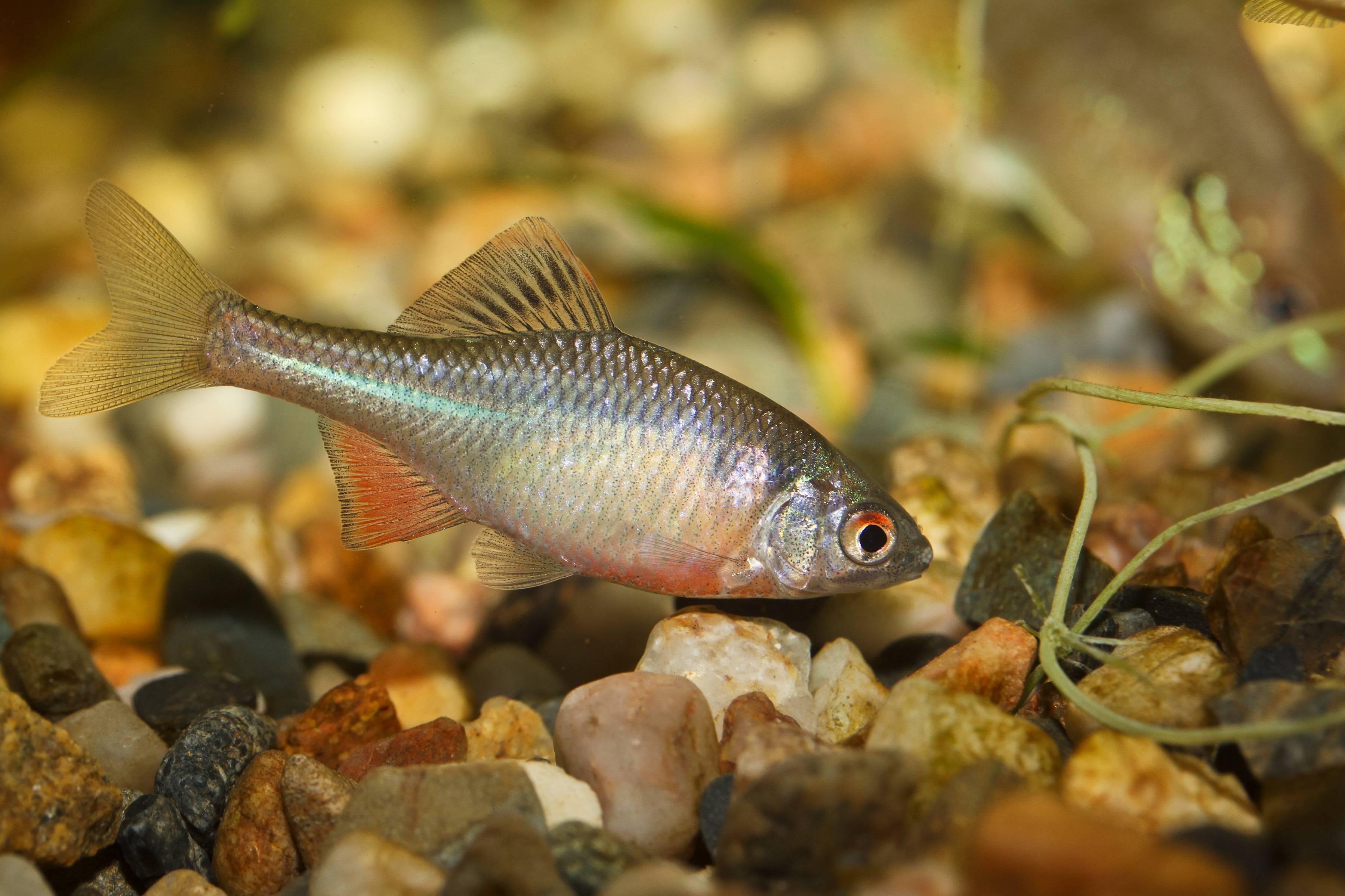 Рыба горчак — описание, особенности поведения, ловля горчака