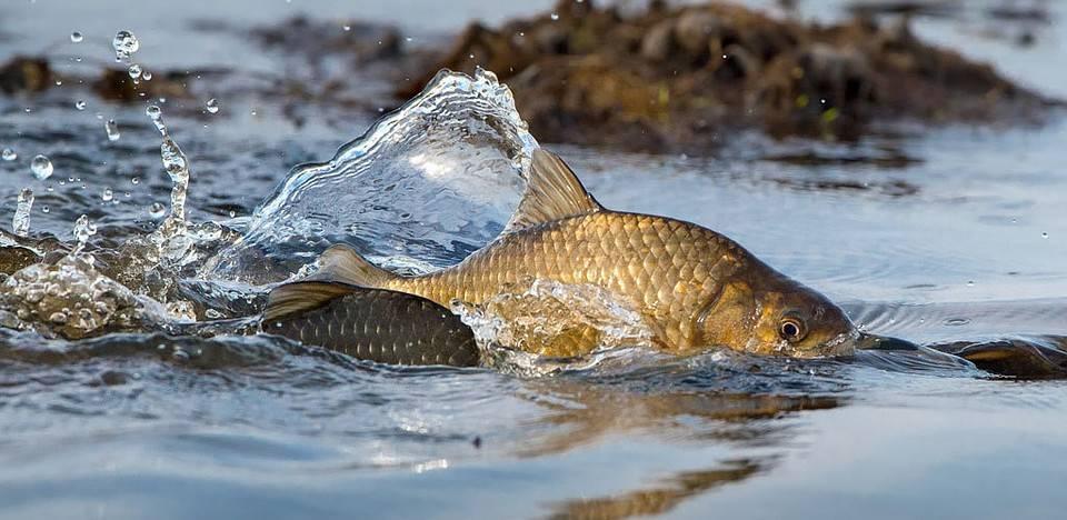 Кунджа: описание рыбы, места обитания, размер, нерест, способы ловли, образ и цикл жизни