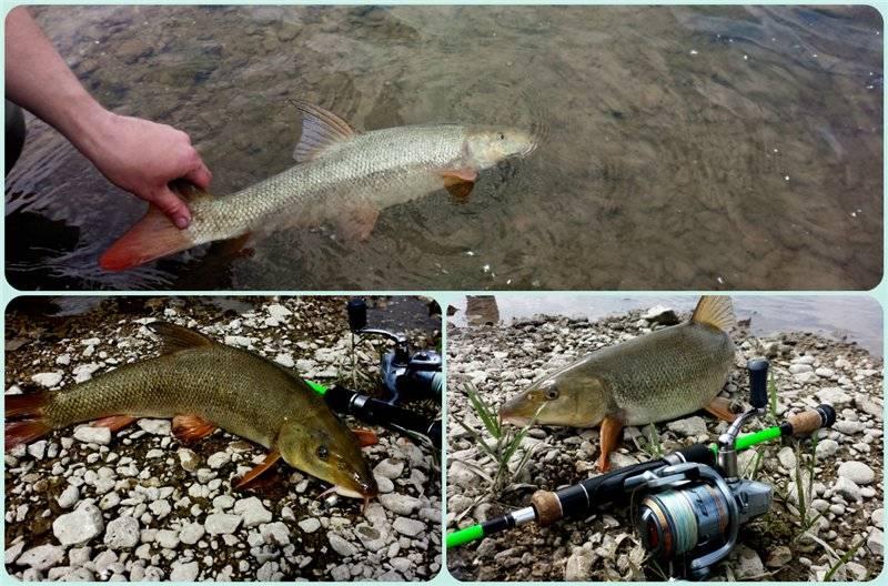 Как ловить голавля? рыбалка на голавля: оснастка :: syl.ru