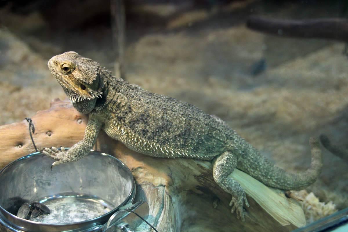 Что едят ящерицы в домашних условиях: содержание, кормление и уход