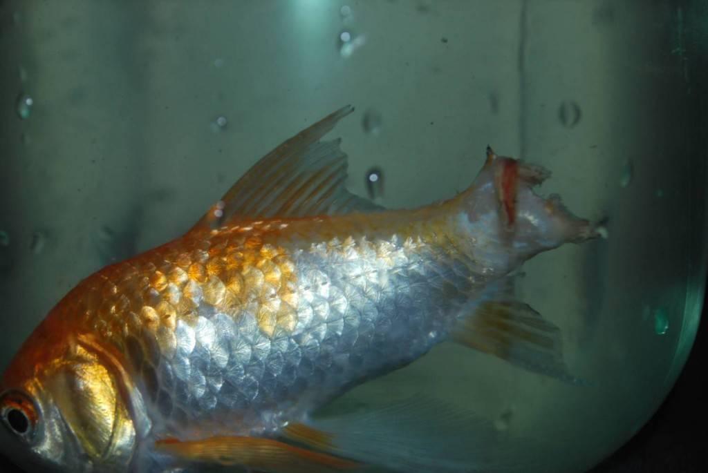 Плавниковая гниль у петушков, гуппи, скалярий, золотых рыбок: симптомы, лекарство, лечение в общем аквариуме, профилактика