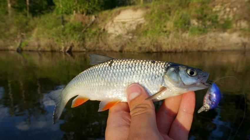 Ловля подуста ~ особенности рыбалки на подуста летом