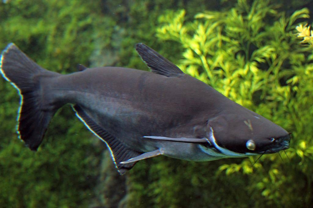 Акулий сомик пангасиус