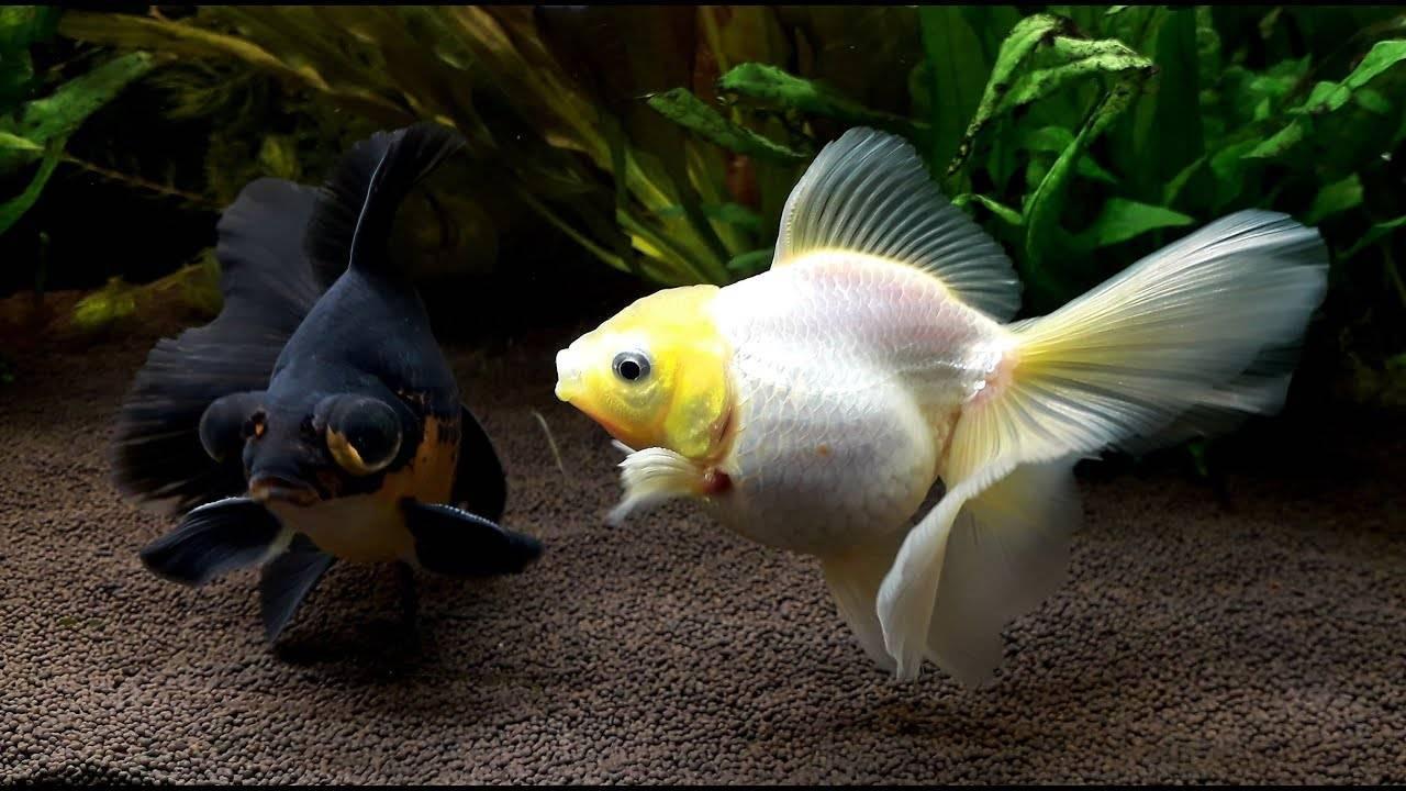 Содержание золотых рыбок и уход за ними (26 фото): как ухаживать за рыбами в аквариуме начинающим? как содержать аквариумных рыбок в домашних условиях?