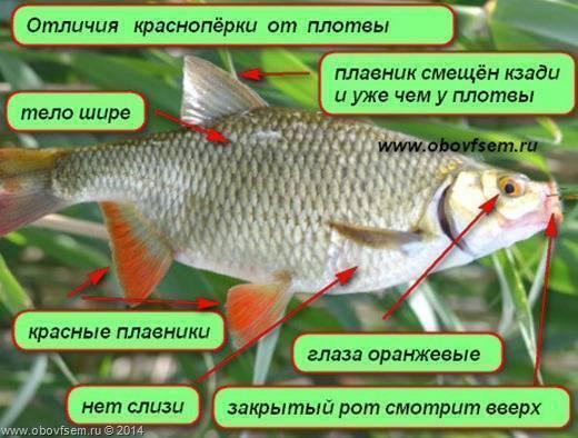 Чебак или сибирская плотва — рыба, которую приятно ловить