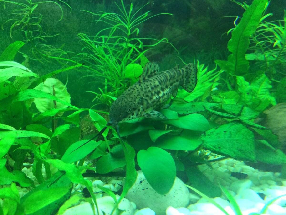 Особенности ухода и содержания сомика таракатума, как выглядит рыбка, чем питается сом