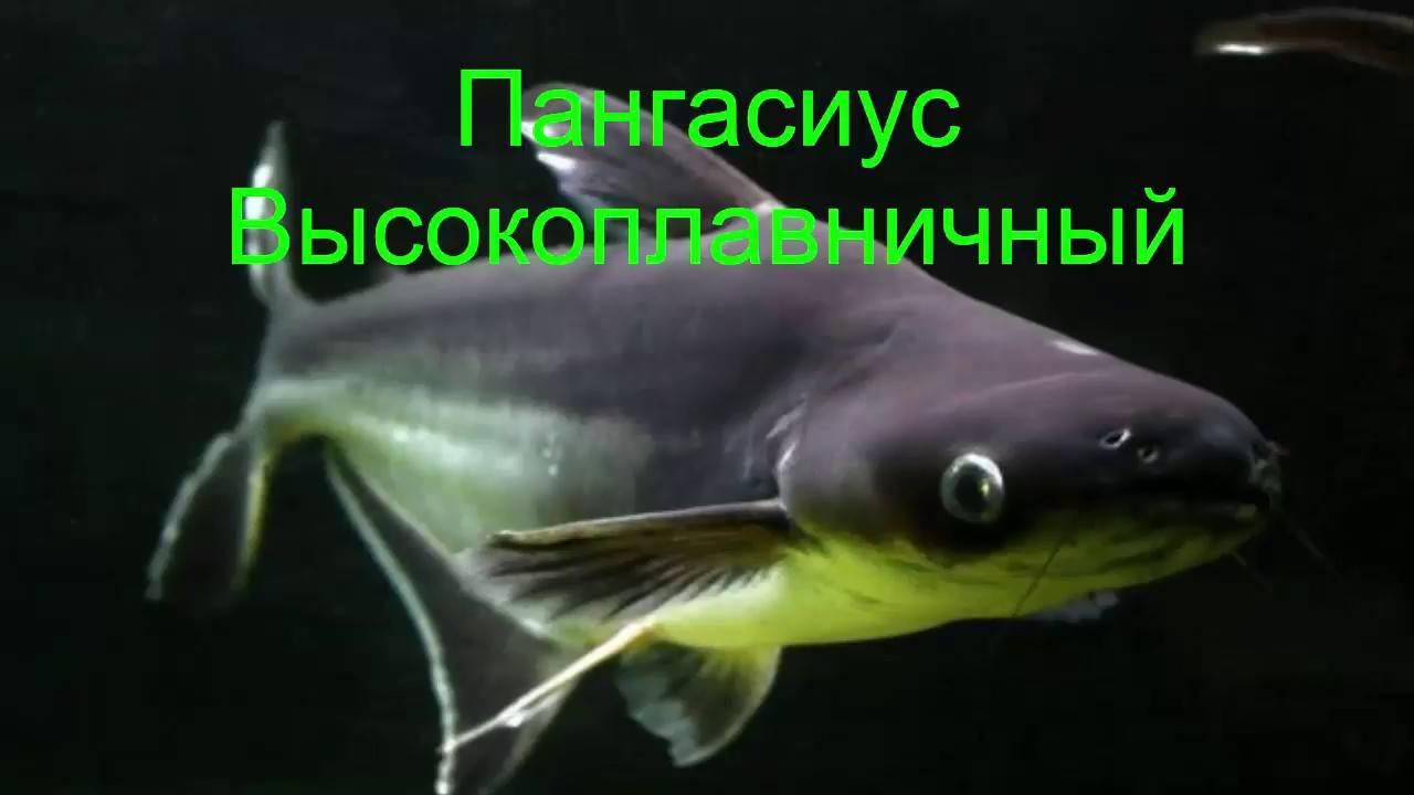 Аквариумный акулий сом пангасиус