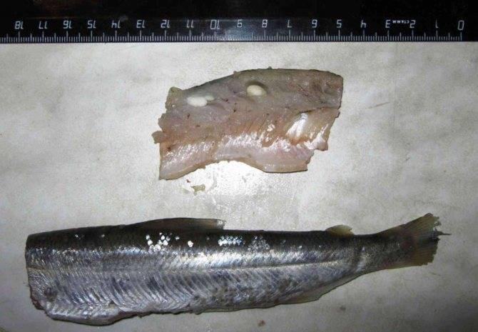 Паразиты в щуке: какие виды живут в рыбе и какая опасность для человека
