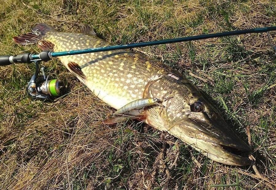 Как ловить хищника на спиннинг для начинающих - про рыбалку