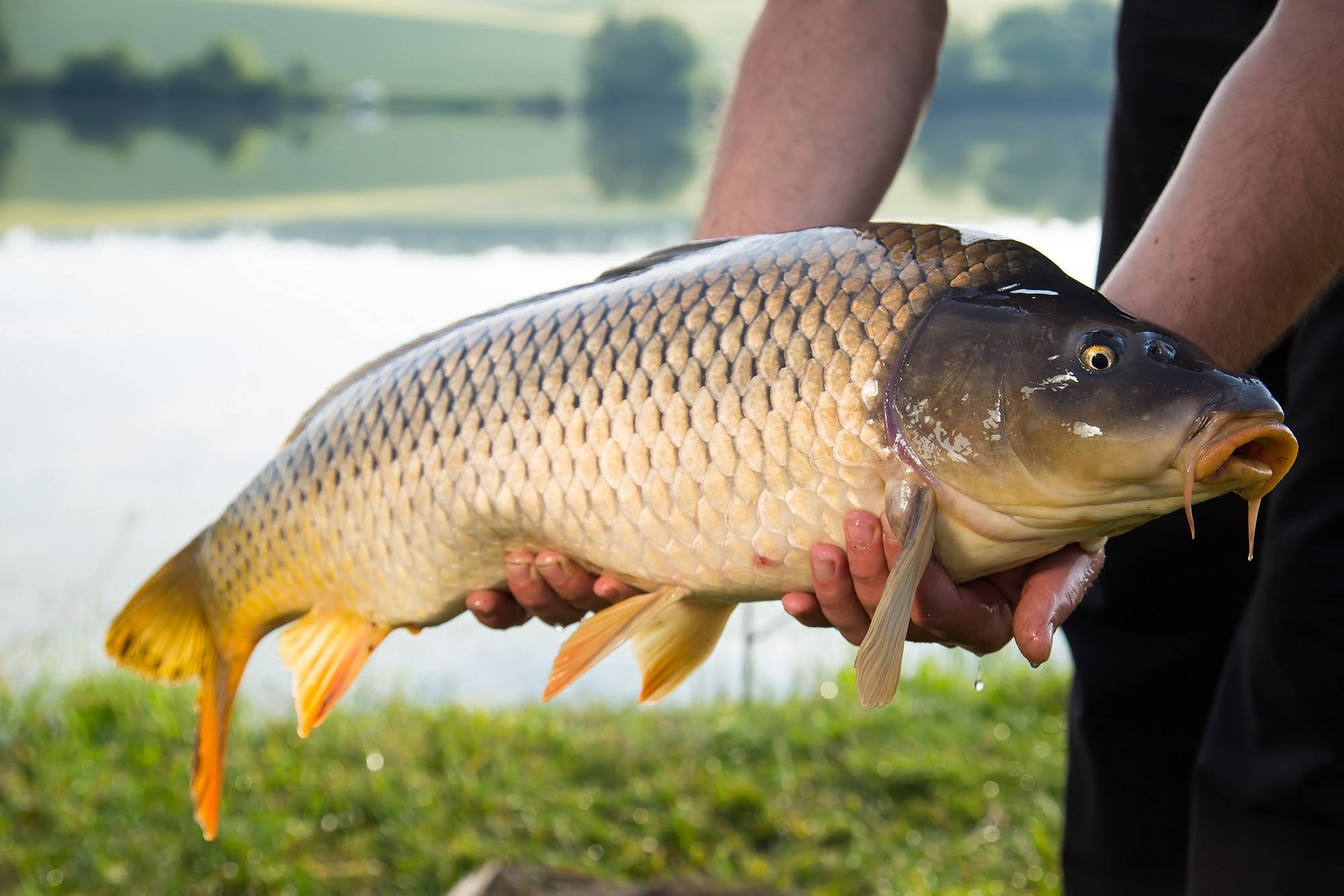 Сазан описание рыбы
