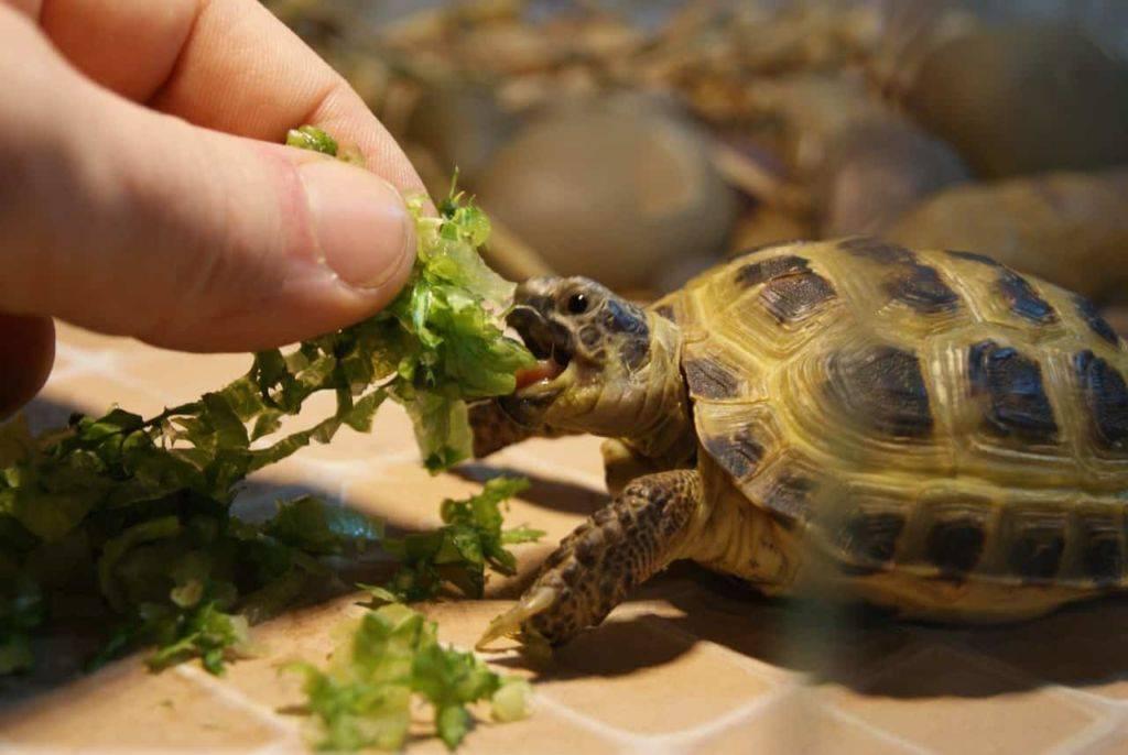 Чем кормить среднеазиатскую черепаху?