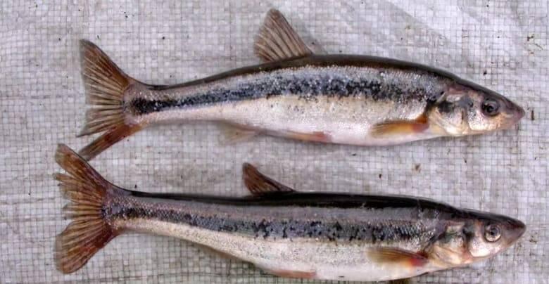 Голавль рыба: описание с фото, как ловить, рецепты приготовления
