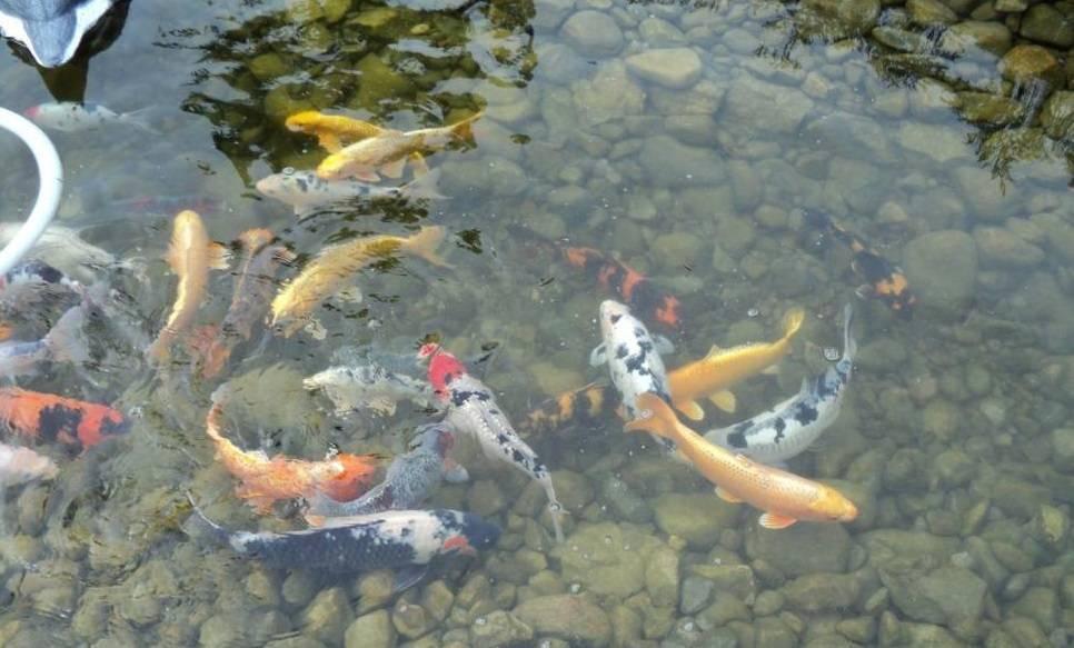 Какую лучше рыбу разводить в искусственном водоеме и как сделать своими руками пруд на участке?