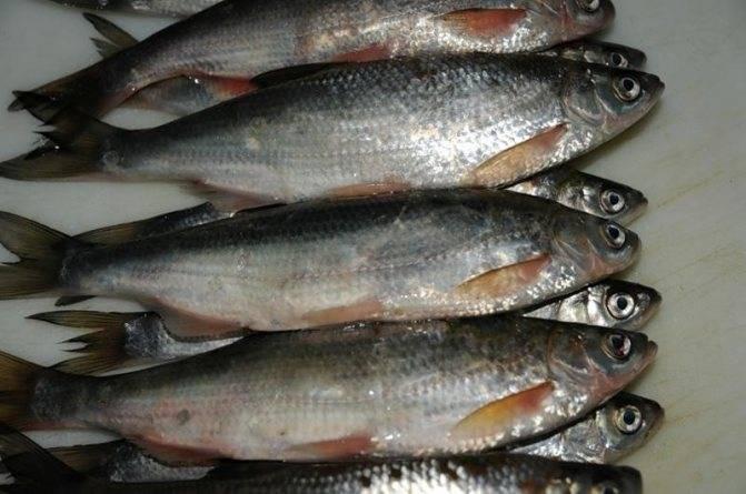 Рыба шамайка (шемая): видовые особенности, места обитания, питание