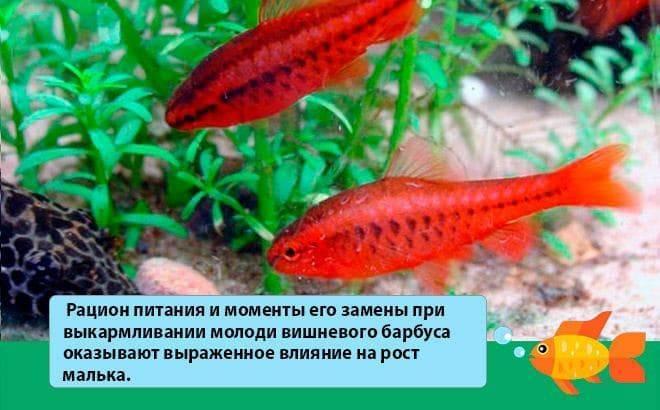 Краснобрюхая пиранья (pygocentrus nattereri)